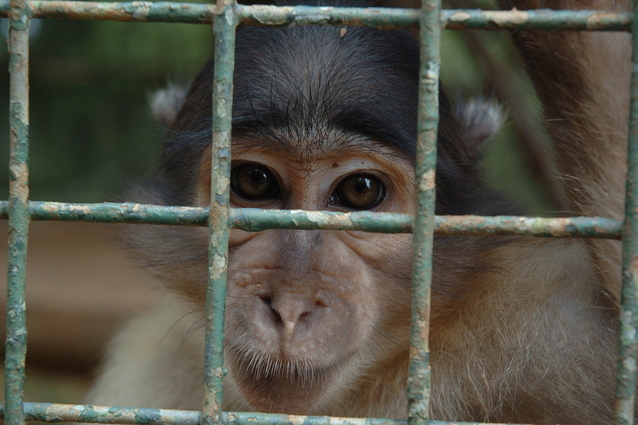 caged-monkey-1519452-638x424