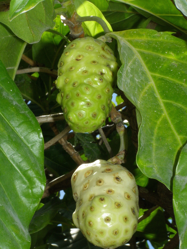 noni-fruit-1319727-639x852